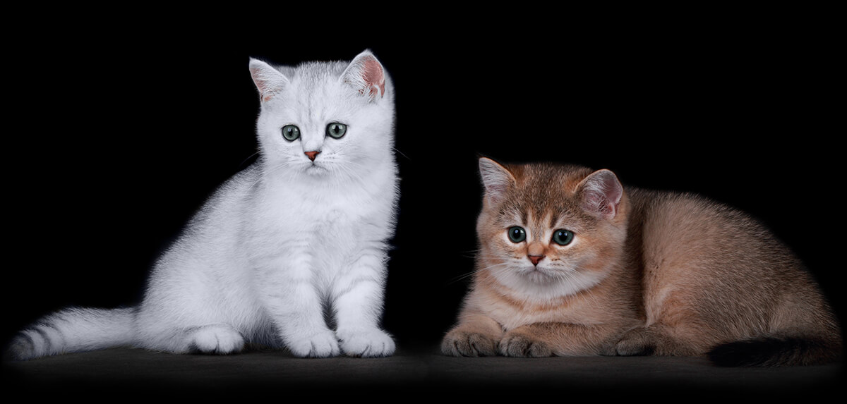 Golden and Silver Kittens